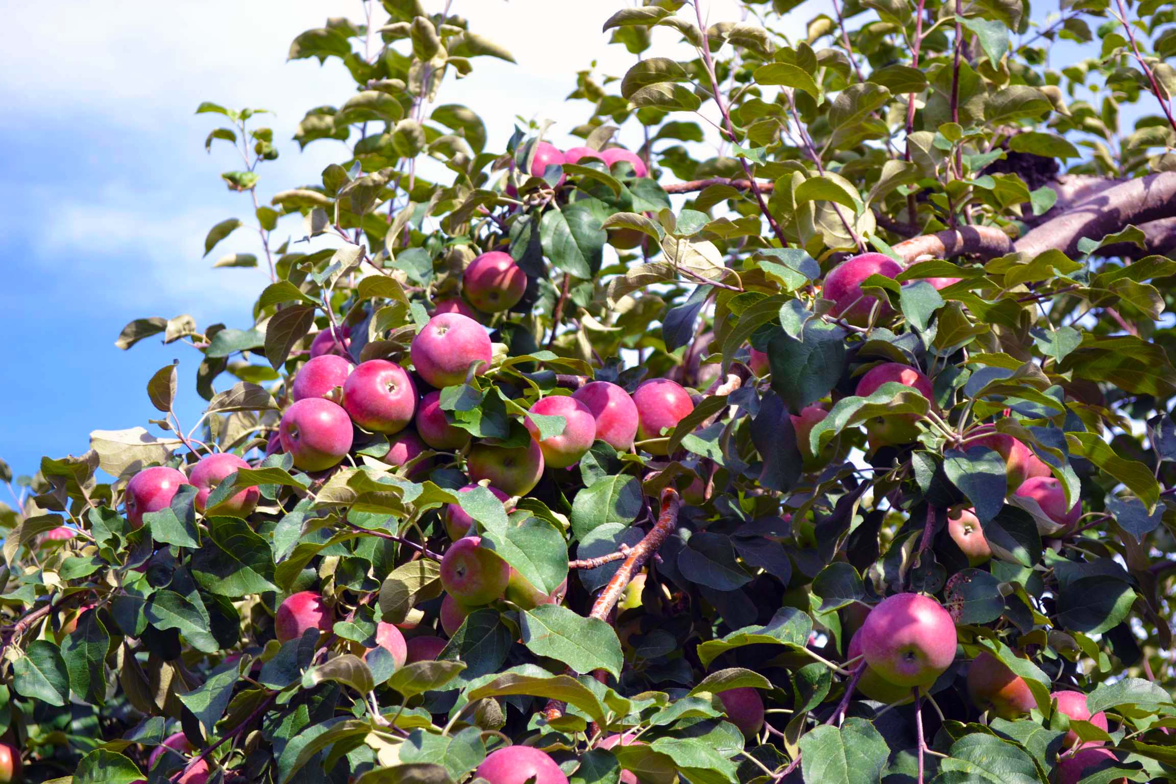 What's Picking - Apple Barn Orchard & Winery