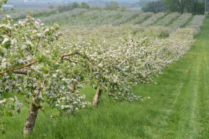 orchard trees in bloom
