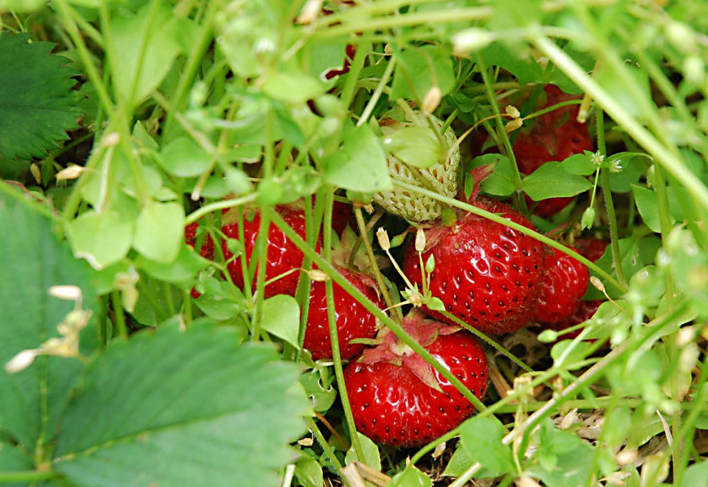 strawberries at Apple Barn